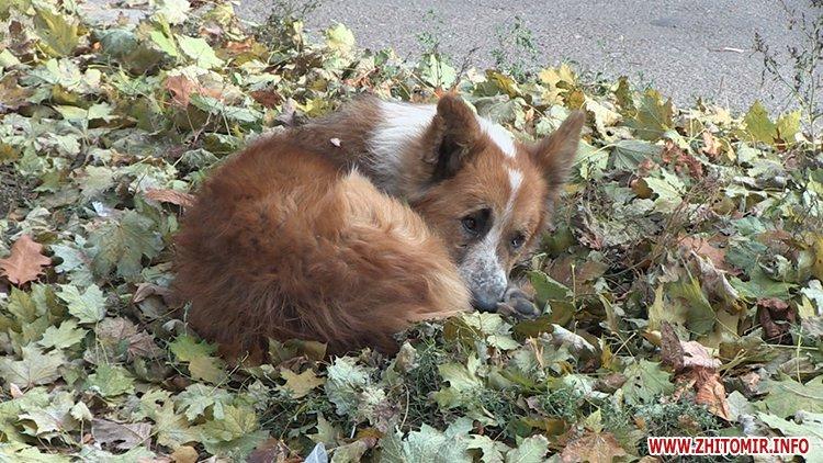 Журналісти Житомир.info розповіли як у місті відловлюють і стерилізують безпритульних тварин